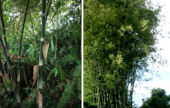 the identification of bambusa sp Provenance: baan sammi nature resort and bamboo garden, doi saket, chiang mai, thailand, cultivated two plants flowered the plants.