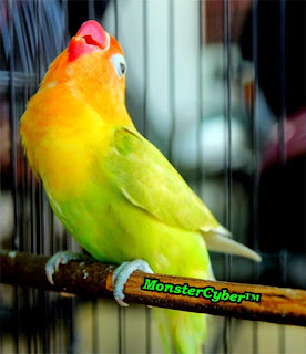 Burung Lovebird - Tiga Aspek yang Penting Dari Penilaian Lomba Burung - Penilain Ini Tidak Hanya Burung Lovebird Saja Tapi Burung Yang Lain Juga