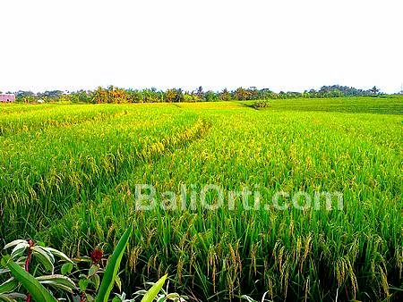 Paddy yellowing, no longer harvest season