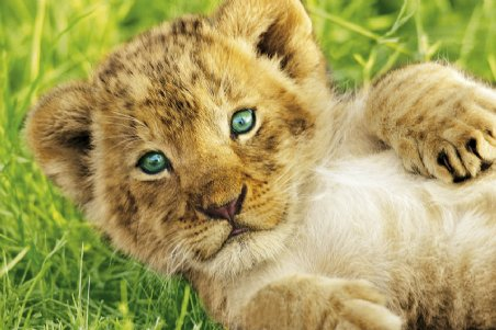baby lions cubs | My HD Animals