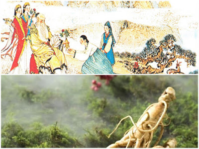 Nhân sâm Hàn Quốc và câu chuyện bắt nguồn từ 1500 năm