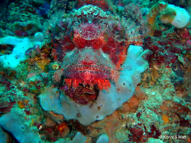 scorpionfish, celebes sea, sulawesi, indonesia