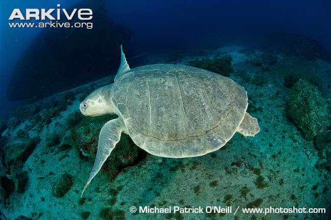beatiful marine turtle