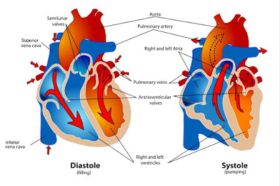 Cardiac_cycle