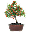 Dwarf Pyracantha Bonsai | How to Plant a tree