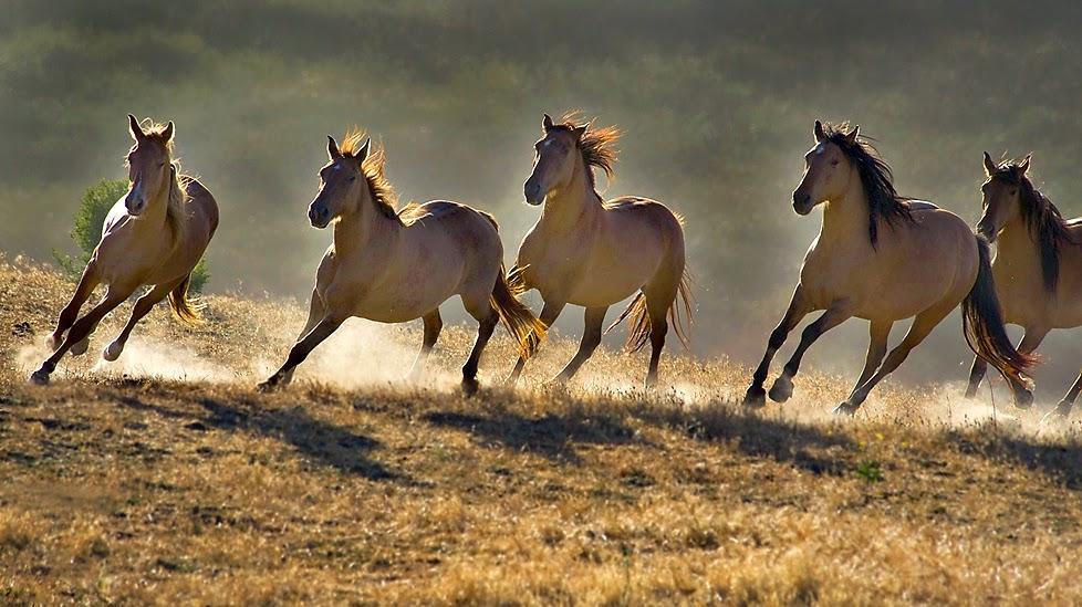 wild horses running wallpapers - photo #10