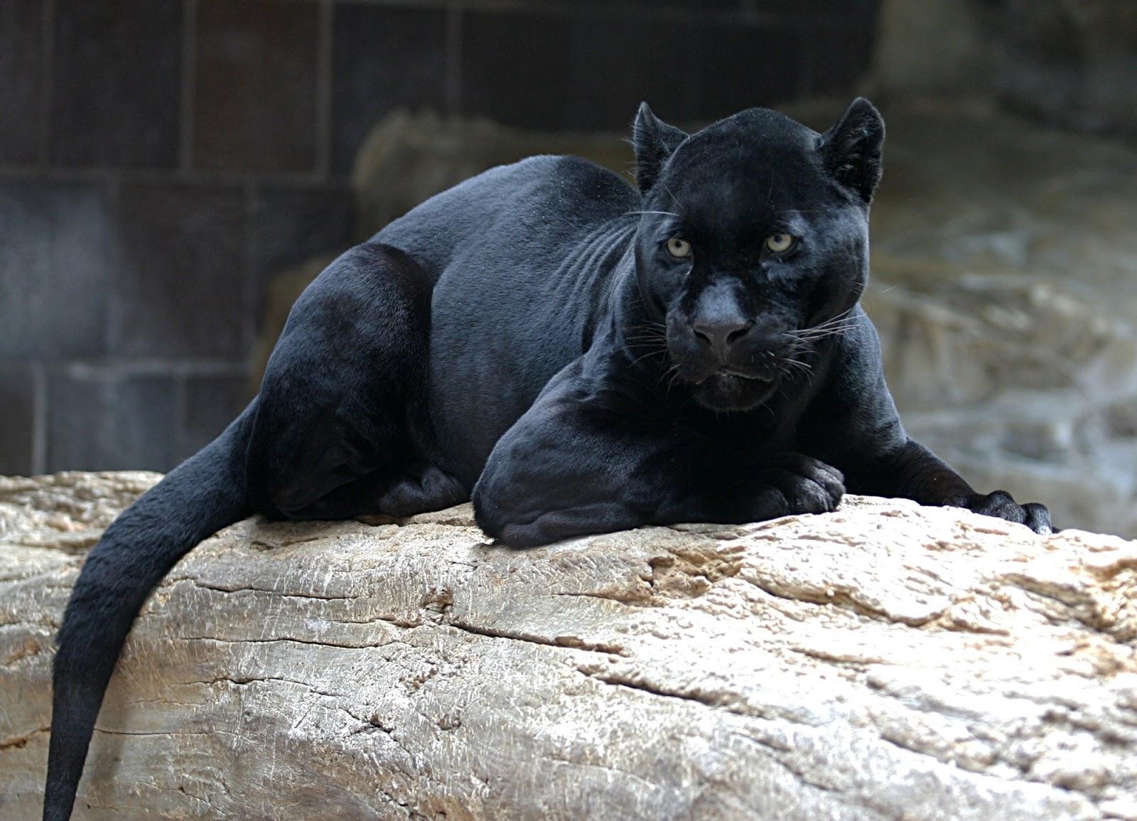 puma nero animale