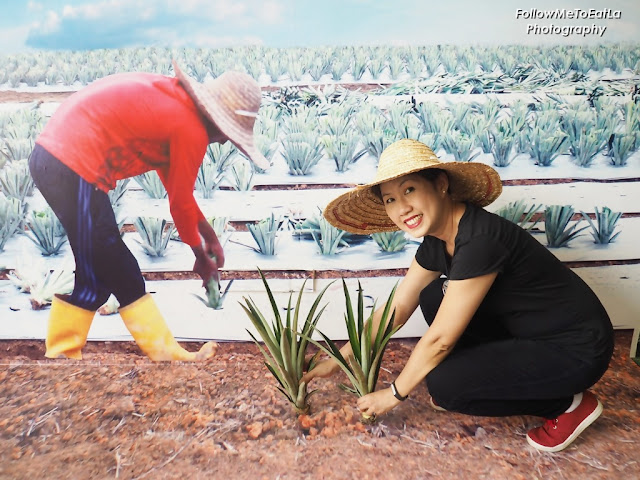 Now Nanas Planting In Progress