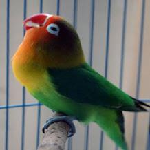 Cara Melatih Burung Lovebird Balibu Agar Mempunyai Mental Juara