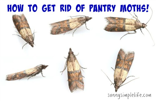 sunny simple life how to get rid of pantry moths