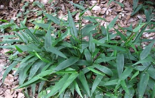 Inilah khasiat dan manfaat tanaman obat rumput bambu bagi kesehatan tubuh kita. Jangan anggap tumbuhan ini rumput, pahami khasiat dan manfaatnya bagi kesehatan.