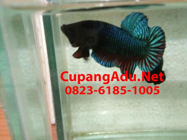 Cupang AduMedan Super Seri 03 | CupangAdu.Net
