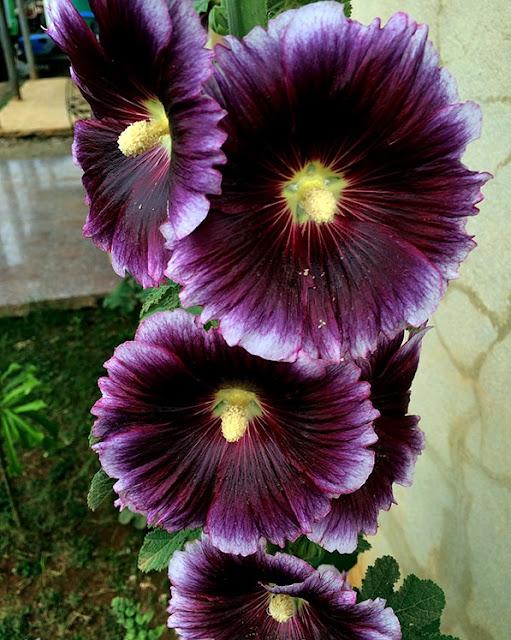 A planta possui ainda propriedades medicinais. A espécie Malva verticillata, quando tomada como uma infusão de ervas é usado na medicina popular por suas propriedades de limpeza do intestino e como um suplemento para perda de peso.