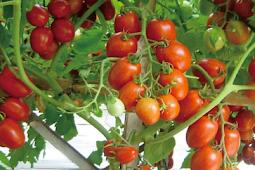 Tips dan Trik Menanam Tomat Agar Berbuah Lebat