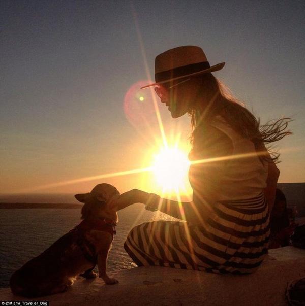 Gặp gỡ chú chó chihuahua được đi vòng quanh thế giới