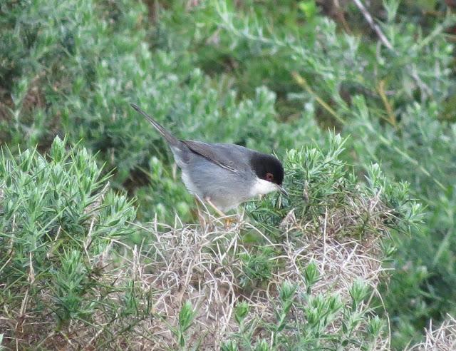 Sardinian Warbler - Portugal