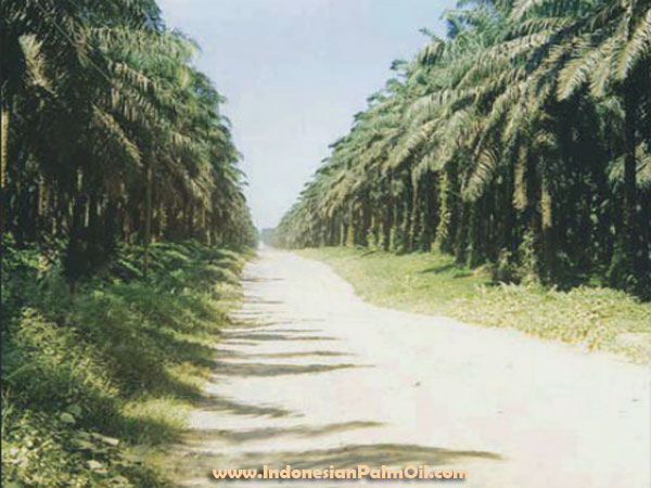 expands oil palm plantation land
