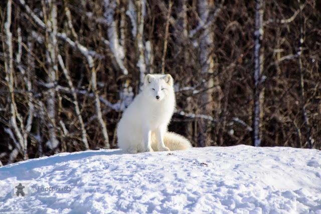 Dann kommen wir an den wunderschoenen Polarwoelfen vorbei. Das weisse Fell des Arctic Wolf ist im Schnee eine gute Tarnung.