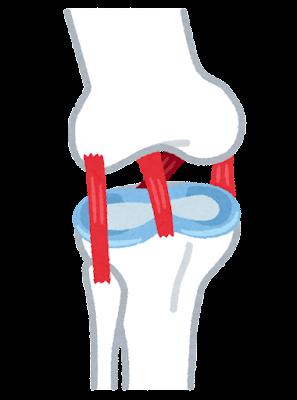 膝前十字靭帯のイラスト