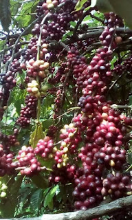 agen pupuk nasa perangsang buah kopi