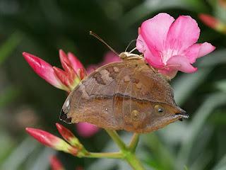 Feuille secrète - Doleschallia bisaltide - Papillon feuille