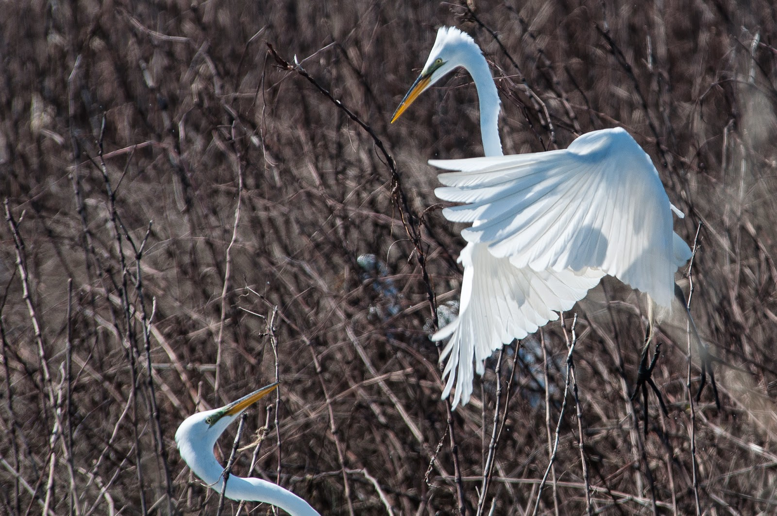 Great Egrets, Hagerman Wildlife Refuge