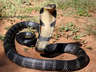 bisa ular mahal, venom snake fluid is expensive