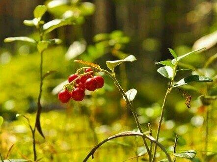 Cranberry-tree