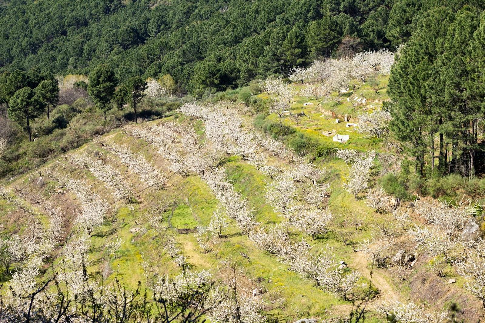 vista panoramica cerezos en flor el hornillo avila