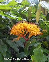 Saraca thaipingensis