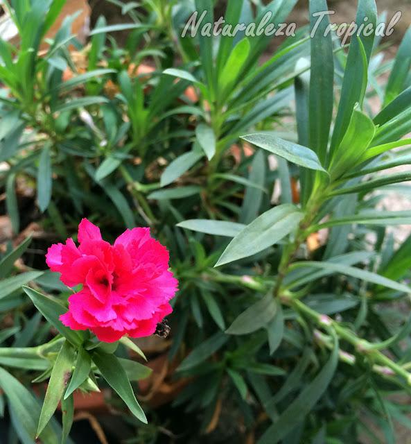 Vista de la planta con flor del Clavel Español, Dianthus caryophyllus