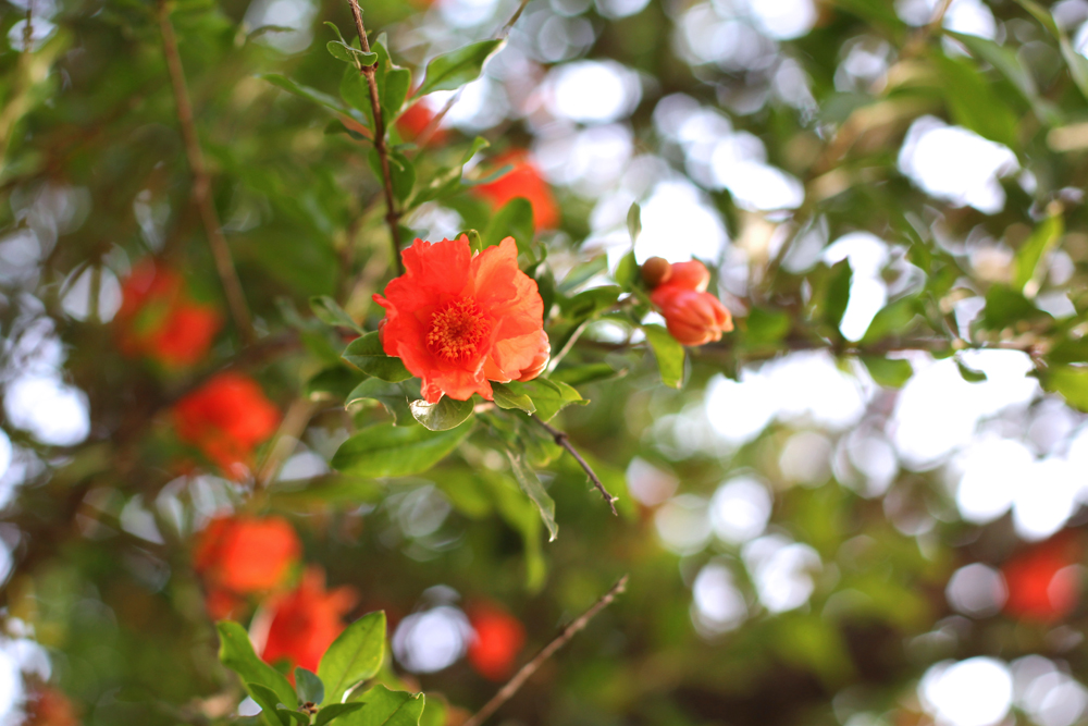 Orange flowers in Piemonte, Italy - travel & style blog