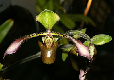 Grow and care Paphiopedilum lowii orchid - Low's Paphiopedilum