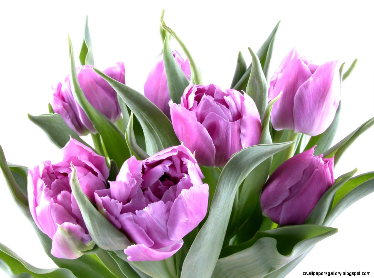 Images Of Purple Tulips