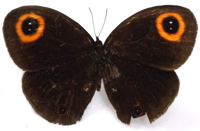Callerebia dibangensis, Callerebia dibangensis upperside, Upper Dibang Valley, butterflies of Arunachal Pradesh, new butterfly species, indian butterflies, north east butterflies