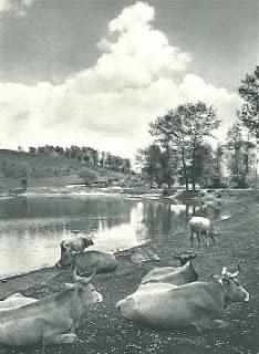vacche riposano tranquille sulle rive del Lago Sirino