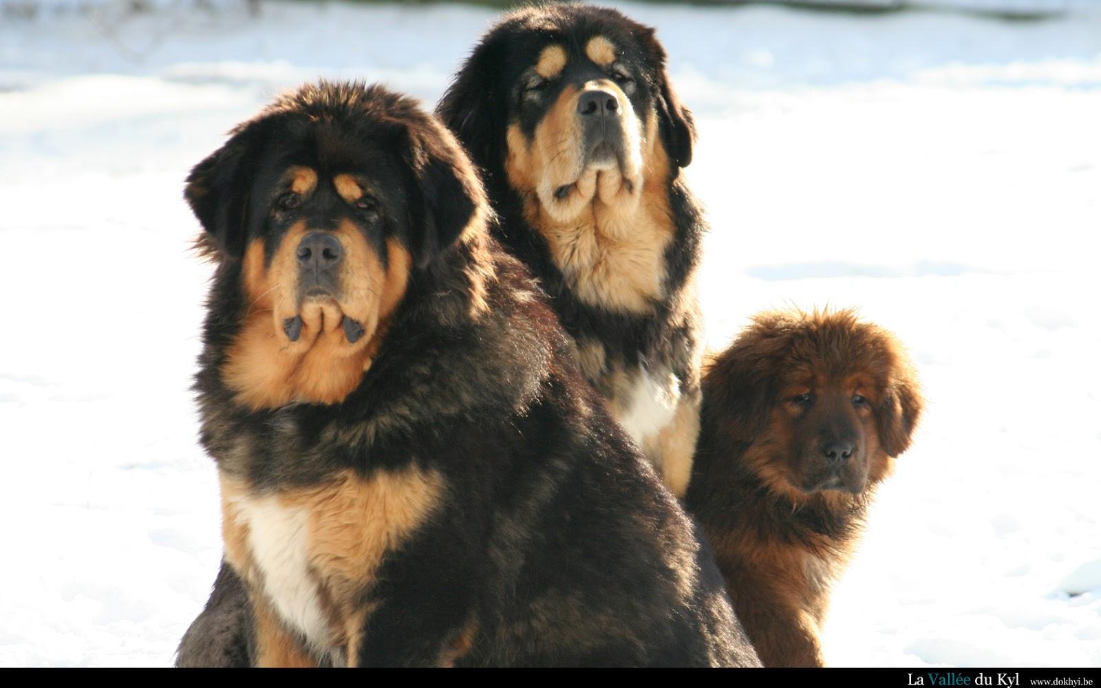 Dog Breed Directory Tibetan Mastiff Dog Breed