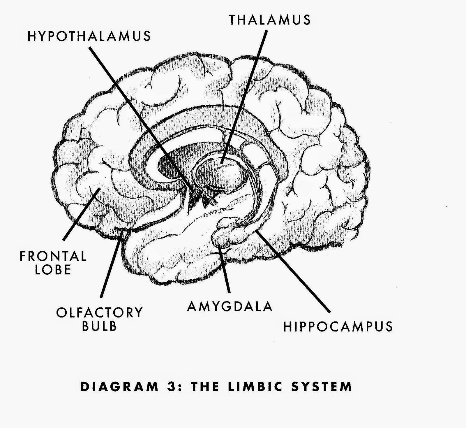 olfactory limbic system diagram