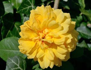 Leah Tutu роза фото сорт отзывы купить саженцы минске