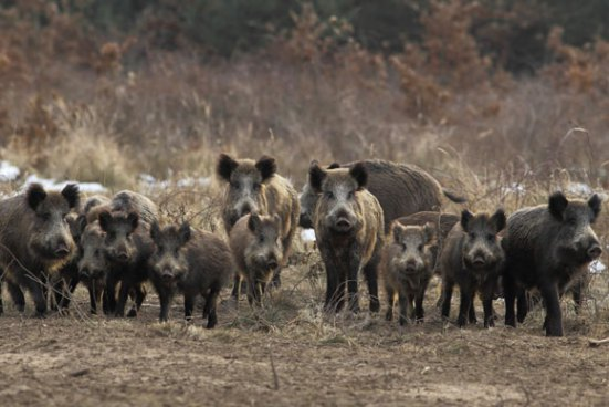 Μάστιγα το πρόβλημα με τους αγριόχοιρους στην Τρίπολη