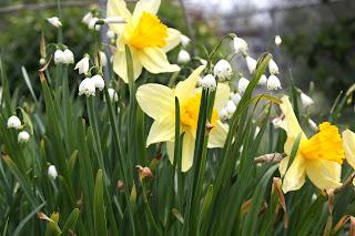 daffodils%252C.JPG