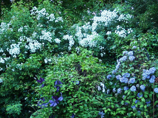Rambling Rector rose above the clematis