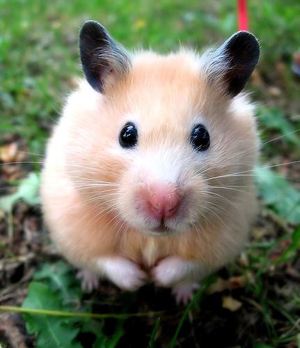 M hamster
