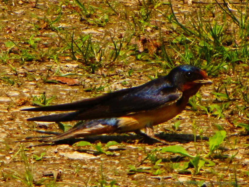 The Everyday Adventurer: Barn Swallow At Berry Lake