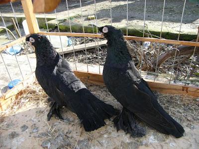 tumbler pigeons - russian pigeons