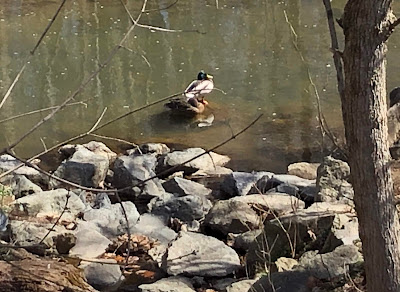 Photo of a duck (a mallard?) on a rock in the creek.