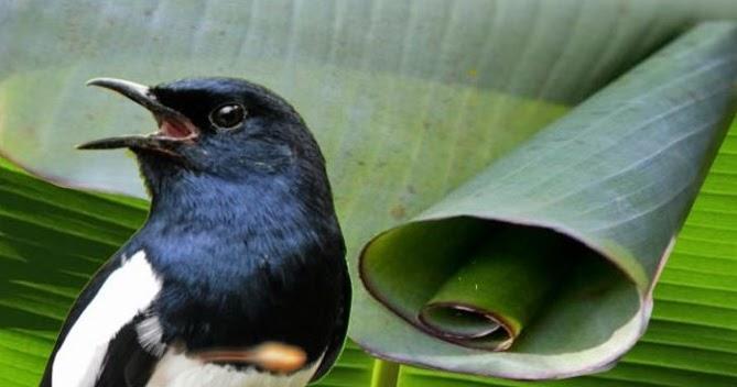 Ulat Daun Pisang Untuk Mendongkrak Performa Burung