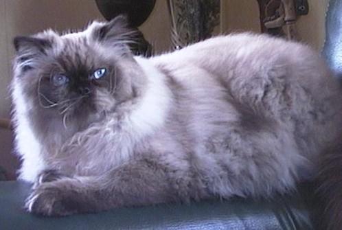 animal  Melhores Raças de Gatos para sua Família