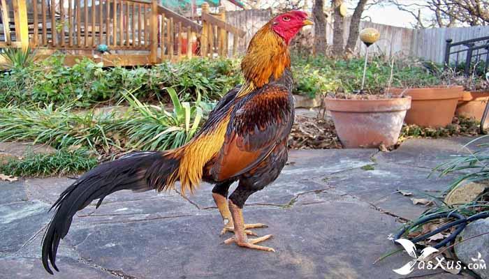 10 Cara Ternak Ayam Bangkok Aduan Super Agar Cepat Besar
