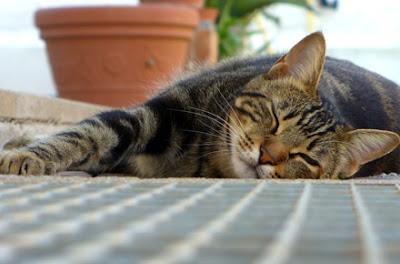 Dirofilarioza kod mačke
